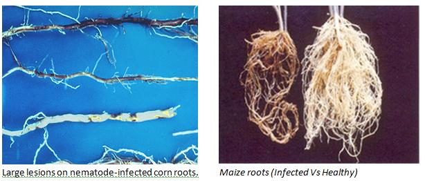 Nematode infection on legumes