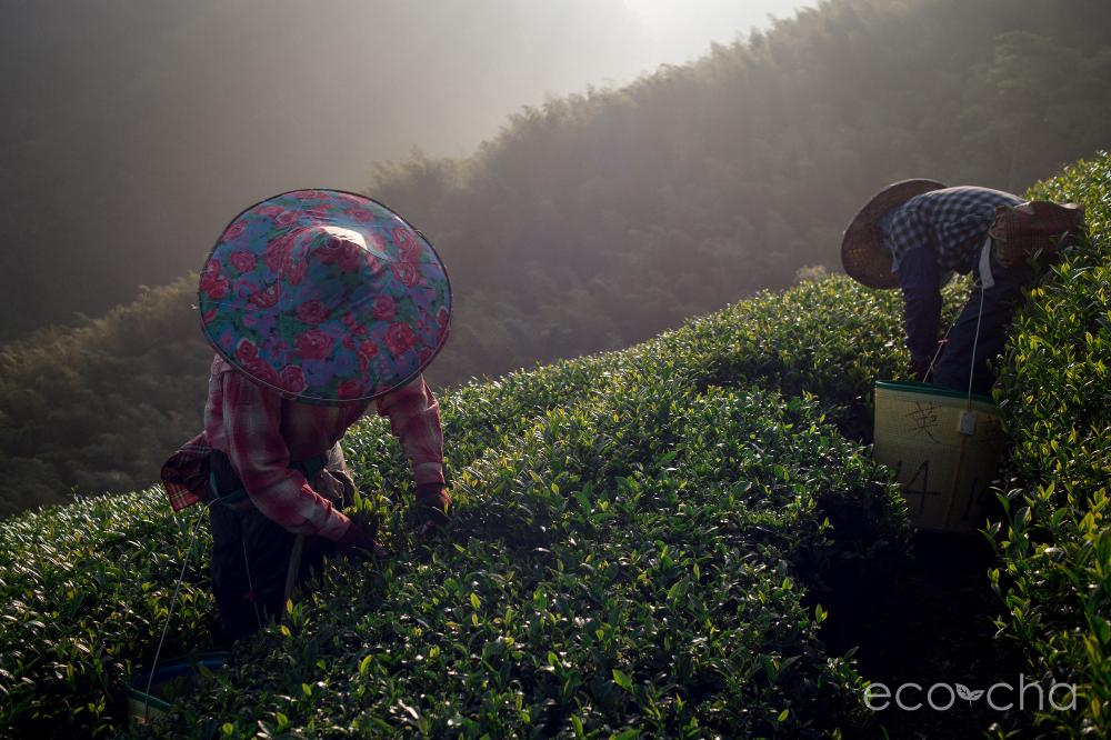 Eco-Cha high mountain tea harvest